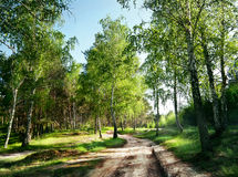 Country road in the forest under the green trees Royalty Free Stock Images