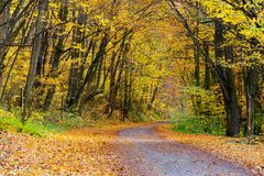 Country road through forest in yellow foliage. Wonderful transportation scenery in autumn royalty free stock image