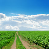 Country road in green fields with sunflowers Royalty Free Stock Photo