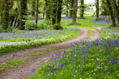 Country Road Leading Through Lush Bluebell Forest in Ireland. A small Country Road Leading Through Lush mature Forest in Ireland with dappled light and a carpet Royalty Free Stock Image