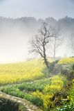 Country road. The country road, lonely tree, the thick fog, yellow fields planted with rape, constitute the picture Stock Photos