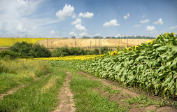 Country road near field of sunflowers Stock Photo