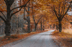 Country road among old autumnal oaks Royalty Free Stock Photos