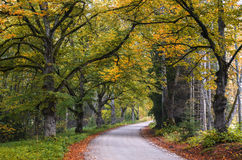 Country road among old oaks Royalty Free Stock Images
