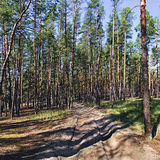 Country road in a pine forest Royalty Free Stock Photos