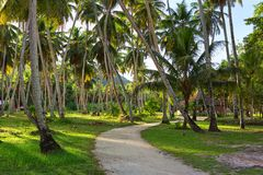 Country road through plantation of coconut trees. Royalty Free Stock Images