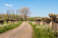 Country road with pollard willows Royalty Free Stock Photo