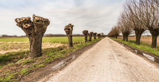 Country road between pollard willows Royalty Free Stock Photography