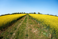 Country road and Rape fields Royalty Free Stock Photography
