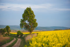 Country road in rapeseed flower field Stock Images