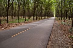 Country road in rubber tree garden Royalty Free Stock Images