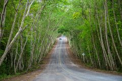 Country road running through Mimosa tree alley Royalty Free Stock Photos