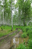 Country road in a summer birch forest Stock Photography