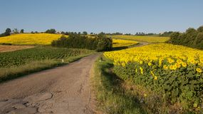 Country road and sunflowers Stock Photos