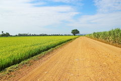 Country road and tree and green rice field with blue sky backgro Stock Image
