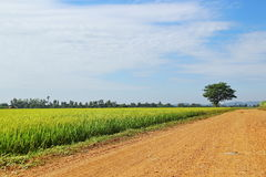 Country road and tree and green rice field with blue sky backgro Royalty Free Stock Image