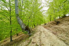Country road trough a beech forest Stock Photo