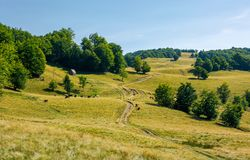 Country road uphill into the beech forest. Cattle of cow grazing near the shed. lovely summer scenery Royalty Free Stock Photos