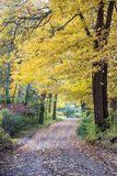 A country road in the USA is covered in golden oak leaves, and a canopy of yellow and gold float above stock images