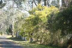 Country road with wattle. Australian country road with yellow wattle tree in flower.  NSW, Australia Royalty Free Stock Photo