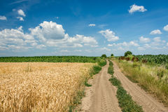 Country road through wheat field with a blue sky full of white clouds Stock Photos