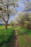 A country road and white flowering trees Stock Images