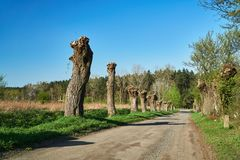 Country road with willows in spring. In Poland stock photo