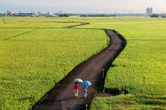 A country road winding through the golden rice fields in Ilan Taiwan. ~ 