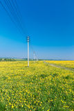 Country road. Yellow dandelions (taraxacum) in the meadow. Stock Photography