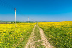 Country road. Yellow dandelions (taraxacum) in the meadow. Royalty Free Stock Images