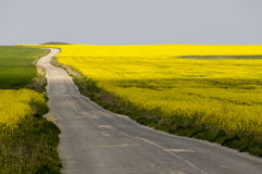 Country road between yellow rapeseed fields. Empty lonely asphalt country road between yellow rapeseed fields Royalty Free Stock Images