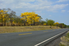 Country road yellow trees and blue sky. Empty country road in Nicaragua Stock Images