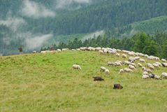 Country. Romania mountain landscapes with sheep Royalty Free Stock Photo