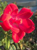 Country Rose. Rose Country Flower Royalty Free Stock Photo