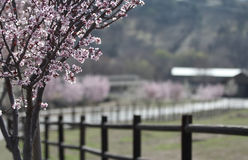 A country scene. A close up of trees flowering in spring Royalty Free Stock Image