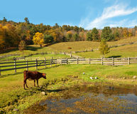 Country scene with cow watching ducks Royalty Free Stock Photo