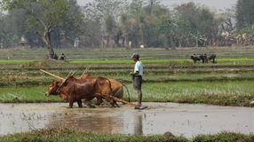 Country scene, Myanmar. A farmer is ploughing his rice-field with an ox-team. In the background are  fields with another ox-team and two farmers, taking a break Royalty Free Stock Photo