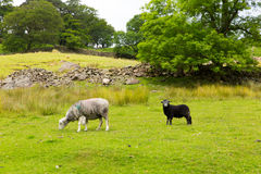 Country scene sheep in field Seatoller Borrowdale Valley Lake District Cumbria England UK royalty free stock photos