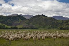 Country of sheep. Many sheep on a beautiful meadow in New Zealand Stock Images