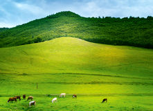 Country Side. Green country side fields mountains and cows Stock Photos