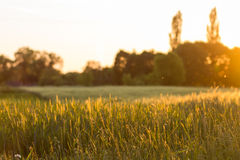 Country side nature evening background. Country side nature evening landscape background. Field of wheat against woods and sky in sunset beams Stock Image