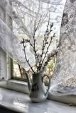 Country still life. Branches of a blossoming apricot on an open white wooden window with a waving tulle Stock Images