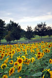 Country Sunflower Field Stock Image