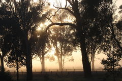 Country Sunrise. Silhouette of trees against fog after sunrise near Murchison, Victoria, Australia Royalty Free Stock Images