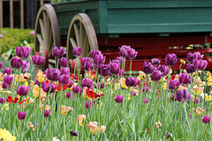 Country Tulips. Beautiful tulips surrounding a buck wagon Royalty Free Stock Photography