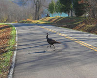 Country Turkey. Wild turkey crossing country road in mid fall,down hill view of country side Royalty Free Stock Photography