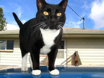 Country Tux. Country kitty looking for a good chase Royalty Free Stock Photo