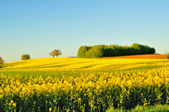 Country view with rape field. Royalty Free Stock Images