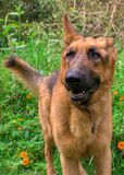 German Shepard dog and yellow flowers royalty free stock photo