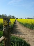 Country walks. Designated walk through a field of rapeseed in full flower Stock Photos
